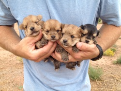 Puppies For Sale - Yorkshire Terrier, Yorkies, Maltese ...